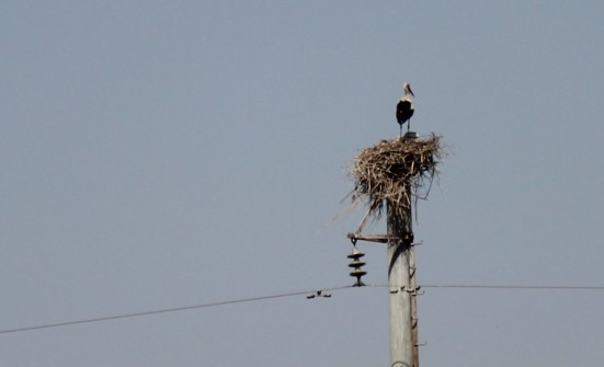 Storks on Telegraph Poles, not a lot of trees round here.