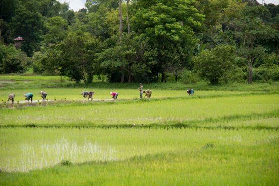 Rice Harvest 28-Jul