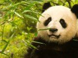 Captivity in Chengdu – China, Week4