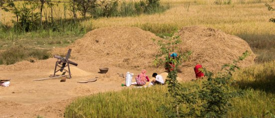 Everything is done by hand here - Threshing, as seen from the road to Lumbini