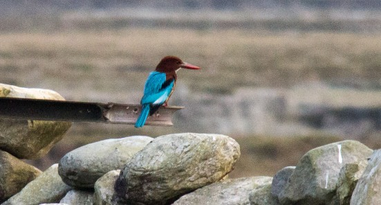 A Nepali Kingfisher spotted by the campsite