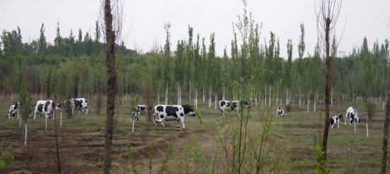Concrete cows - not just a Milton Keynes speciality